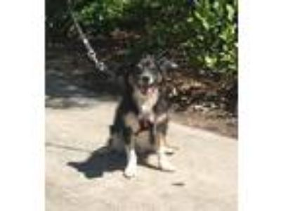 Adopt Merlin a Black - with White Sheltie, Shetland Sheepdog / Mixed dog in