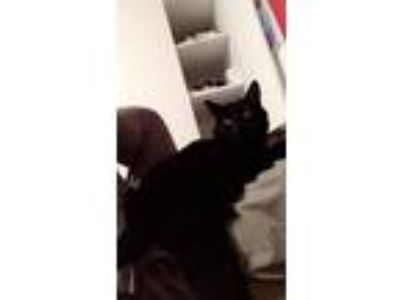 Adopt Pepper a All Black American Shorthair / Mixed cat in Winter Park