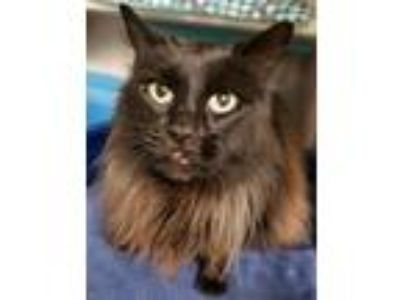Adopt Purrbox a All Black Maine Coon / Mixed (long coat) cat in Woodland
