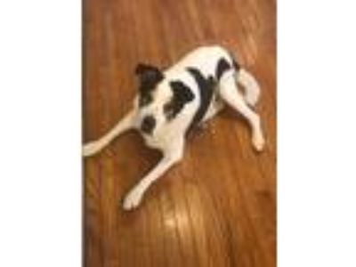 Adopt Mattie a White - with Black Pointer / Mixed dog in Lexington