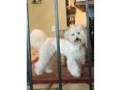 Family Maltipoo House Trained Neutered