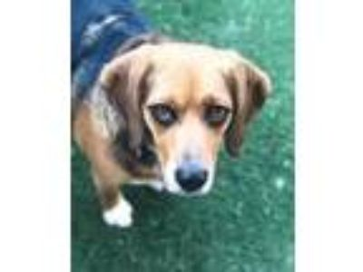 Adopt Lucy a Tricolor (Tan/Brown & Black & White) Beagle / Mixed dog in Guthrie