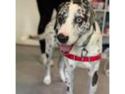Adopt Hannibal a White - with Tan, Yellow or Fawn Catahoula Leopard Dog dog in