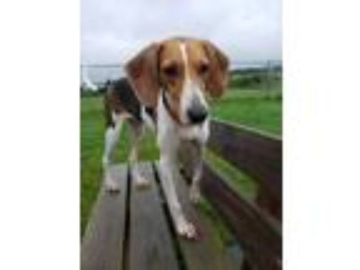 Adopt Kali a Treeing Walker Coonhound