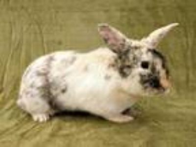 Adopt a Tri-color Other/Unknown / Mixed rabbit in Martinez, CA (25926053)