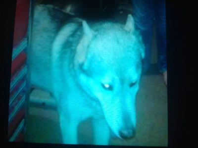 Please read two male huskies missing (reward offered)