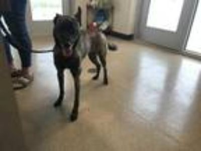 Adopt 41640499 a Brindle Dutch Shepherd / Mixed dog in Fort Worth, TX (25307140)