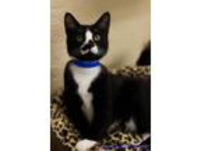 Adopt Flea a Domestic Short Hair
