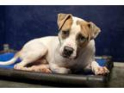Adopt Jake a Pit Bull Terrier, Mixed Breed