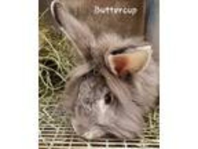 Adopt Butternut a Chinchilla Lionhead / Mixed rabbit in Morgan Hill