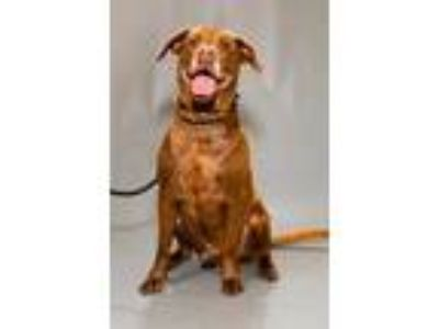 Adopt Chance a Brown/Chocolate Labrador Retriever / Mixed dog in Chesapeake