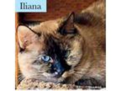 Adopt Iliana a Siamese, Domestic Short Hair