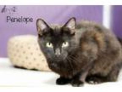 Adopt Penelope (Polycactyl) a Domestic Short Hair