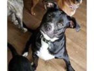 Adopt Candy a Black Labrador Retriever / Mixed dog in Justin, TX (21194246)