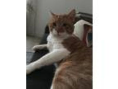 Adopt Narly the Nicest Guy! a Domestic Mediumhair / Mixed (medium coat) cat in