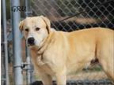 Adopt Gru a Tan/Yellow/Fawn Labrador Retriever / Great Pyrenees / Mixed dog in