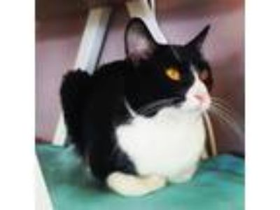 Adopt Lancelot a Domestic Short Hair, Tuxedo