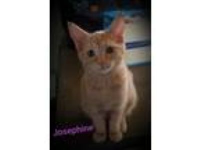 Adopt Josephine a Orange or Red (Mostly) Domestic Shorthair (short coat) cat in