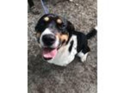 Adopt Pearson a Black - with White Blue Heeler / Mixed dog in Kittery