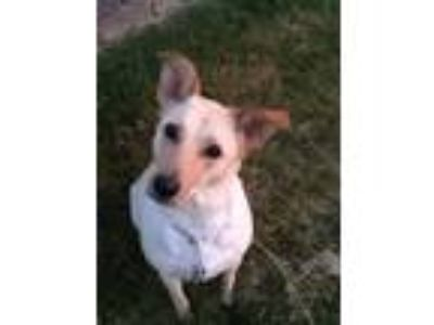 Adopt Elliot a Tan/Yellow/Fawn - with White Labrador Retriever dog in Crystal