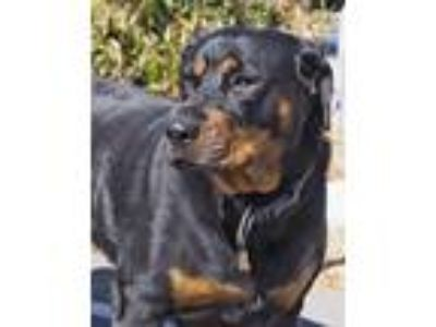 Adopt Baby a Black - with Tan, Yellow or Fawn Rottweiler / Mixed dog in Tracy