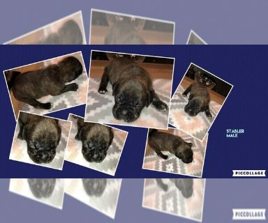 Boxer PUPPY FOR SALE ADN-129958 - Brindle Male Boxer
