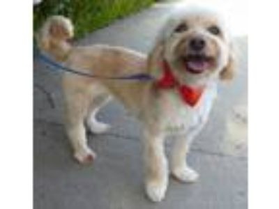 Adopt Buffy BB a Shih Tzu