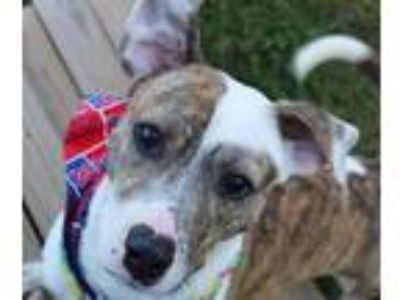 Adopt Russ a Brindle - with White Mountain Cur / Hound (Unknown Type) / Mixed