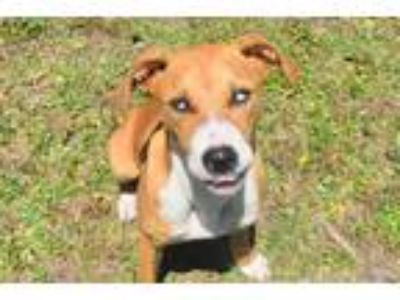 Adopt DALEE a Tan/Yellow/Fawn - with White Hound (Unknown Type) / Mixed dog in