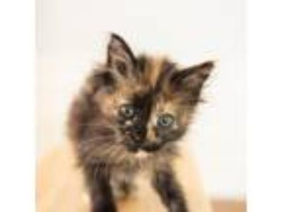 Adopt Maddie a Calico or Dilute Calico Domestic Mediumhair cat in Woodstock