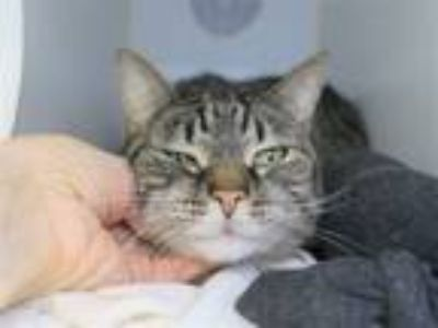 Adopt Flamingo a Domestic Short Hair