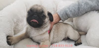 Pug PUPPY FOR SALE ADN-75762 - Pug Female Porky