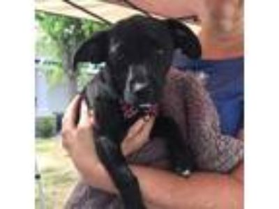 Adopt Boba a Black Labrador Retriever
