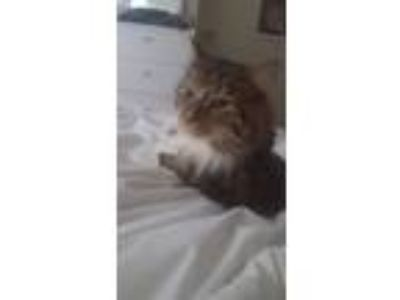 Adopt Milo a Brown Tabby Domestic Mediumhair / Mixed cat in Philadelphia