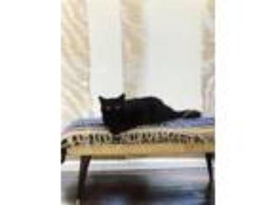 Adopt Mona a Black (Mostly) Domestic Mediumhair cat in Richardson, TX (25588663)