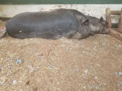 Organic Farm Raised Potbelly Pigs