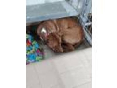 Adopt Rocky a Pit Bull Terrier / Mixed Breed (Medium) / Mixed dog in Cuero