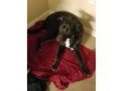 Adopt Polly a Black - with White Labrador Retriever / American Pit Bull Terrier