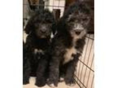 F1b Sheepadoodle Puppies