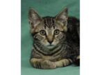 Adopt Boba a Brown Tabby Domestic Shorthair / Mixed (short coat) cat in Davis