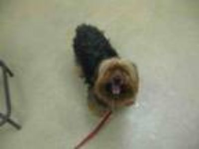 Adopt ID#A388653 a Yorkshire Terrier