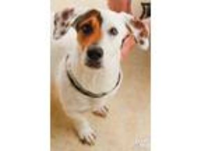 Adopt Shazam a Brown/Chocolate - with White Basset Hound / Mixed dog in