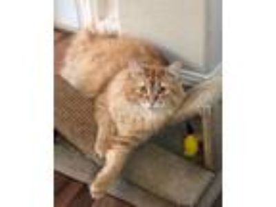 Adopt Cecil a Orange or Red (Mostly) Balinese / Mixed (long coat) cat in Austin