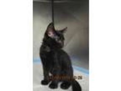 Adopt WHISKEY a All Black Domestic Shorthair / Mixed (short coat) cat in Panama