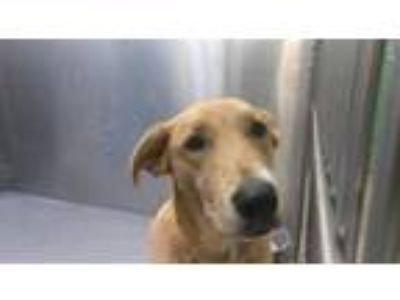Adopt BRTTNIE a Brown/Chocolate - with White German Shepherd Dog / Mixed dog in