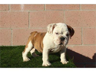 Rehoming English Bulldog Puppies