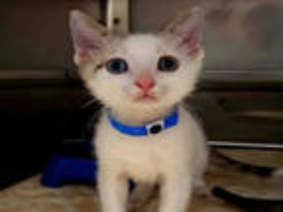 Adopt a White (Mostly) Siamese / Mixed (short coat) cat in Chula Vista