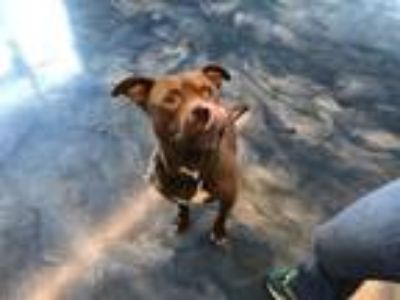 Adopt Chief Jawa a Pit Bull Terrier