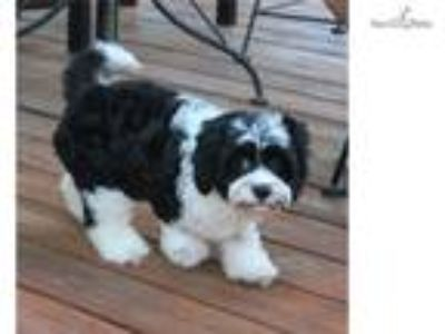Beautiful F1 Cavapoo Puppy Available