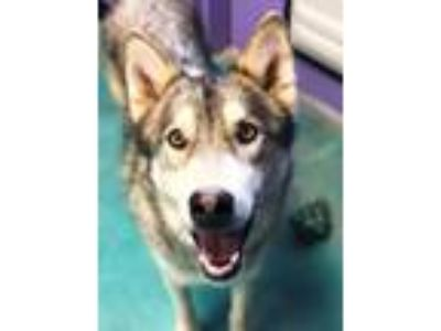 Adopt Kiko a Gray/Silver/Salt & Pepper - with White Alaskan Malamute / Shepherd
